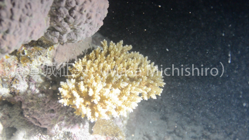 サンゴ産卵2-2.jpg