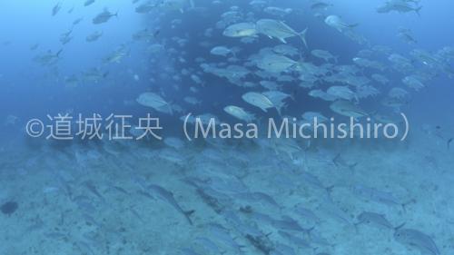 fujikawajackfish-2.jpg