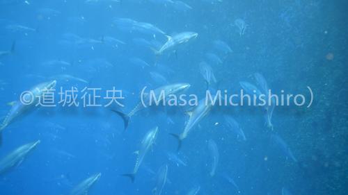 mi_maguroam-2.jpg